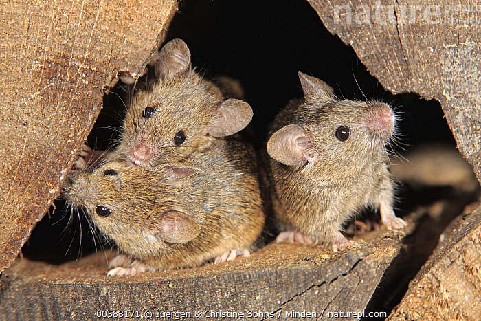 House Mouse (Mus musculus) trio, Ellerstadt, Rhineland-Palatinate, Germany  ,  Adult, Color Image, Day, Ellerstadt, Front View, Full Length, Germany, Horizontal, House Mouse, Looking at Camera, Mus musculus, Nobody, Outdoors, Pest, Photography, Rhineland-Palatinate, Three Animals, Wildlife,House Mouse,Germany  ,  Juergen & Christine Sohns