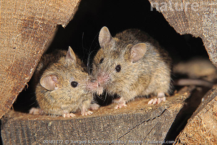 House Mouse (Mus musculus) pair smelling each other, Ellerstadt, Rhineland-Palatinate, Germany, Adult, Color Image, Day, Ellerstadt, Front View, Full Length, Germany, Horizontal, House Mouse, Looking at Camera, Mus musculus, Nobody, Outdoors, Pest, Photography, Rhineland-Palatinate, Smelling, Touching, Two Animals, Wildlife,House Mouse,Germany, Juergen & Christine Sohns