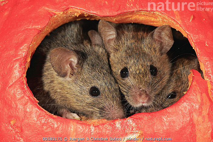 House Mouse (Mus musculus) trio in pumpkin, Ellerstadt, Rhineland-Palatinate, Germany  ,  Adult, Color Image, Day, Ellerstadt, Front View, Germany, Head and Shoulders, Hole, Horizontal, House Mouse, Looking at Camera, Mus musculus, Nobody, Outdoors, Pest, Photography, Portrait, Pumpkin, Rhineland-Palatinate, Three Animals, Wildlife,House Mouse,Germany  ,  Juergen & Christine Sohns