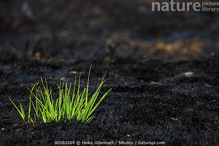 New growth in recently burnt heathland, Netherlands, Adult, Adversity, Beginning, Burnt, Color Image, Day, Heathland, Horizontal, Life Cycle, Netherlands, New Growth, Nobody, Outdoors, Photography, Regrowth, Succession,Netherlands, Heike Odermatt