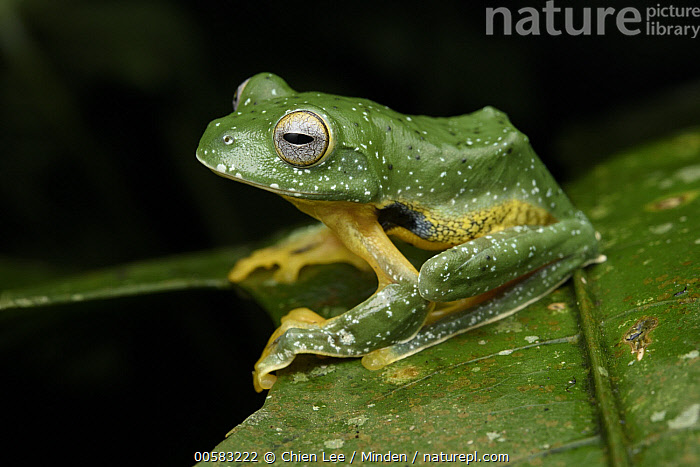 Peacock Gliding Frog (Rhacophorus kio), Menglun, Yunnan, China, Adult, China, Color Image, Day, Full Length, Horizontal, Menglun, Nobody, One Animal, Outdoors, Peacock Gliding Frog, Photography, Rhacophorus kio, Side View, Spotted, Threatened Species, Vulnerable Species, Wildlife, Yunnan,Peacock Gliding Frog,China, Chien Lee