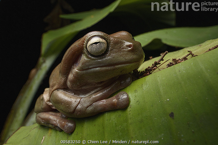 White's Tree Frog (Litoria caerulea) brown form, Wasur National Park, Papua, Indonesia  ,  Adult, Brown, Color Image, Day, Full Length, Horizontal, Indonesia, Litoria caerulea, Nobody, One Animal, Outdoors, Papua, Photography, Side View, Wasur National Park, White's Tree Frog, Wildlife,White's Tree Frog,Indonesia  ,  Chien Lee