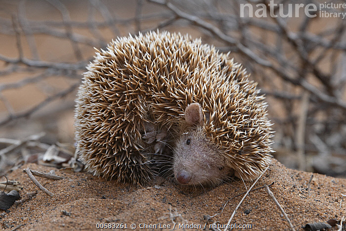 Lesser Hedgehog Tenrec (Echinops telfairi) in defensive posture, Mangily, Madagascar, Adult, Color Image, Cute, Day, Defensive Posture, Echinops telfairi, Endemic, Full Length, Horizontal, Lesser Hedgehog Tenrec, Looking at Camera, Madagascar, Mangily, Nobody, One Animal, Outdoors, Photography, Side View, Wildlife,Lesser Hedgehog Tenrec,Madagascar, Chien Lee