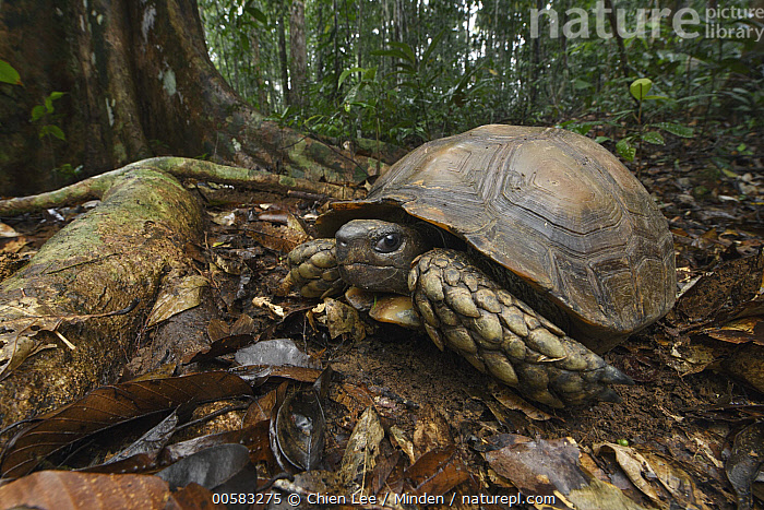 Asian Brown Tortoise (Manouria emys) male in rainforest, Tawau Hills Park, Sabah, Malaysia  ,  Adult, Animal in Habitat, Asian Brown Tortoise, Color Image, Day, Endangered Species, Full Length, Horizontal, Male, Malaysia, Manouria emys, Nobody, One Animal, Outdoors, Photography, Rainforest, Sabah, Side View, Tawau Hills Park, Wildlife,Asian Brown Tortoise,Malaysia  ,  Chien Lee