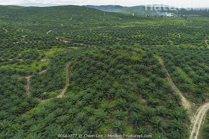 African Oil Palm (Elaeis guineensis) plantation and refinery, Kalabakan, Sabah, Malaysia  ,  Aerial View, African Oil Palm, Agriculture, Color Image, Day, Elaeis guineensis, Horizontal, Industry, Kalabakan, Landscape, Malaysia, Nobody, Outdoors, Photography, Plantation, Refinery, Sabah,African Oil Palm,Malaysia  ,  Chien Lee