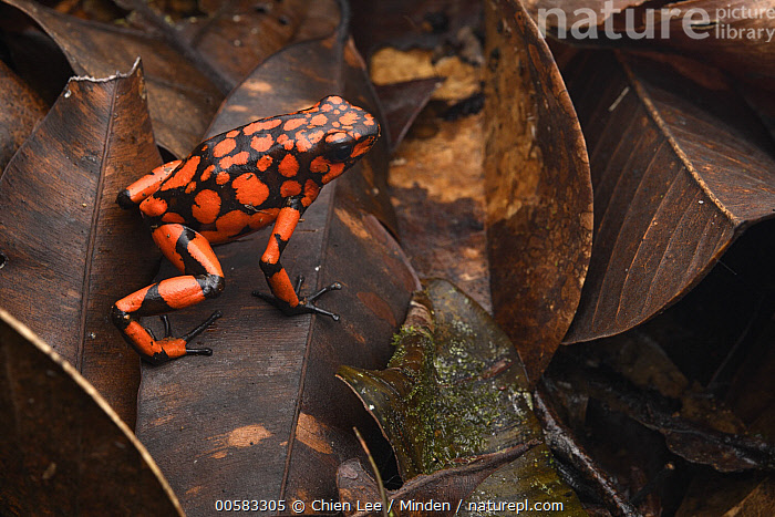 Harlequin Poison Dart Frog (Dendrobates histrionicus), Utria National Park, Colombia, Adult, Aposematic Coloration, Color Image, Colombia, Day, Dendrobates histrionicus, Full Length, Harlequin Poison Dart Frog, High Angle View, Horizontal, Nobody, One Animal, Outdoors, Photography, Red, Side View, Utria National Park, Wildlife,Harlequin Poison Dart Frog,Colombia, Chien Lee