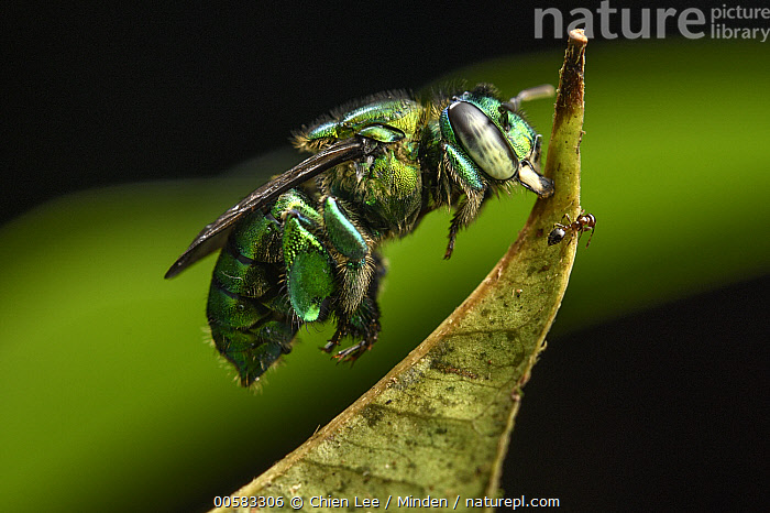 Orchid Bee (Euglossa sp) sleeping by biting leaf, Utria National Park, Colombia, Adult, Biting, Color Image, Colombia, Day, Euglossa sp, Full Length, Hanging, Horizontal, Nobody, One Animal, Orchid Bee, Outdoors, Photography, Side View, Sleeping, Utria National Park, Wildlife,Orchid Bee,Colombia, Chien Lee