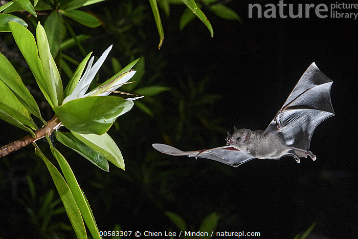 Pallas' Long-tongued Bat (Glossophaga soricina) approaching Tea Mangrove (Pelliciera rhizophorae) flower at night, Utria National Park, Colombia  ,  Adult, Color Image, Colombia, Flower, Flying, Full Length, Glossophaga soricina, High Speed, Horizontal, Night, Nobody, One Animal, Outdoors, Pallas' Long-tongued Bat, Pelliciera rhizophorae, Photography, Side View, Tea Mangrove, Utria National Park, Wildlife,Pallas' Long-tongued Bat,Tea Mangrove,Pelliciera rhizophorae,Colombia  ,  Chien Lee