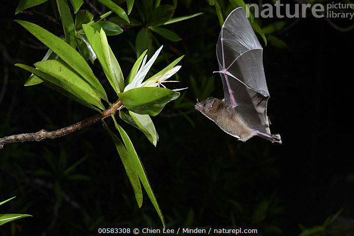 Pallas' Long-tongued Bat (Glossophaga soricina) approaching Tea Mangrove (Pelliciera rhizophorae) flower at night, Utria National Park, Colombia, Adult, Color Image, Colombia, Flower, Flying, Full Length, Glossophaga soricina, High Speed, Horizontal, Night, Nobody, One Animal, Outdoors, Pallas' Long-tongued Bat, Pelliciera rhizophorae, Photography, Side View, Tea Mangrove, Utria National Park, Wildlife,Pallas' Long-tongued Bat,Tea Mangrove,Pelliciera rhizophorae,Colombia, Chien Lee