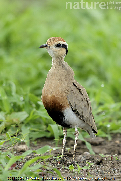 Temminck's Courser (Cursorius temminckii), Olifants River, South Africa, Adult, Color Image, Cursorius temminckii, Day, Full Length, Nobody, Olifants River, One Animal, Outdoors, Photography, Shorebird, Side View, South Africa, Temminck's Courser, Vertical, Wildlife,Temminck's Courser,South Africa, Walter Soestbergen/ BIA