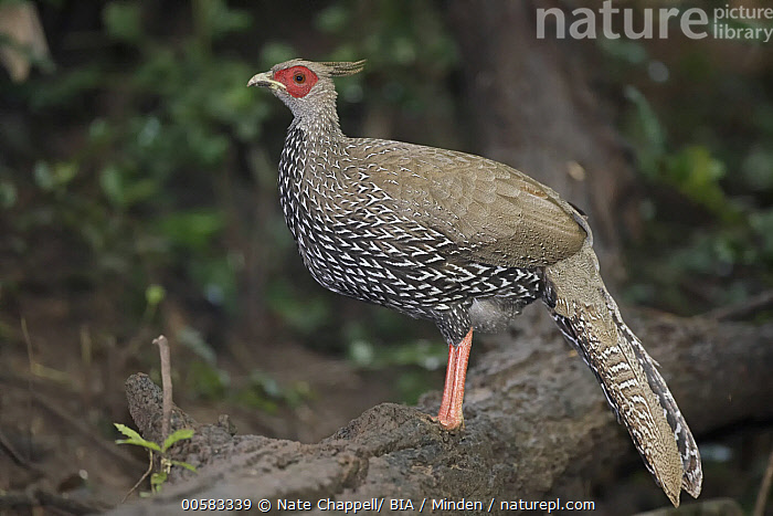 Kalij Pheasant (Lophura leucomelanos) female, Thailand, Adult, Color Image, Day, Female, Full Length, Gamebird, Horizontal, Kalij Pheasant, Lophura leucomelanos, Nobody, One Animal, Outdoors, Photography, Side View, Thailand, Wildlife,Kalij Pheasant,Thailand, Nate Chappell/ BIA