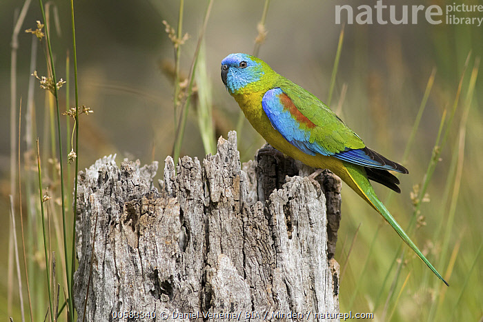 Turquoise Parrot (Neophema pulchella) male, Victoria, Australia  ,  Adult, Australia, Color Image, Colorful, Day, Full Length, Horizontal, Male, Neophema pulchella, Nobody, One Animal, Outdoors, Parrot, Photography, Side View, Turquoise Parrot, Victoria, Wildlife  ,  Daniel Venema/ BIA