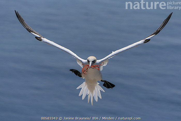 Northern Gannet (Morus bassanus) flying with rope for nesting, Schleswig-Holstein, Germany, Adult, Approaching, Color Image, Day, Environmental Issue, Flying, Front View, Full Length, Garbage, Germany, Horizontal, Humor, Litter, Morus bassanus, Nesting, Nobody, Northern Gannet, One Animal, Outdoors, Photography, Pollution, Rope, Schleswig-Holstein, Seabird, Wildlife,Northern Gannet,Germany, Janine Brauneis/ BIA
