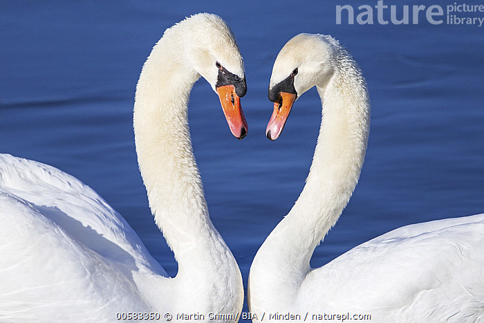 Mute Swan (Cygnus olor) pair courting, Baden-Wurttemberg, Germany  ,  Adult, Affection, Baden-Wurttemberg, Color Image, Couple, Courting, Cygnus olor, Day, Displaying, Facing, Female, Germany, Horizontal, Male, Mute Swan, Nobody, Outdoors, Photography, Side View, Two Animals, Waist Up, Waterfowl, Wildlife,Mute Swan,Germany  ,  Martin Grimm/ BIA