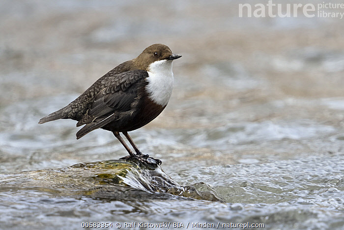 White-throated Dipper (Cinclus cinclus), North Rhine-Westphalia, Germany  ,  Adult, Cinclus cinclus, Color Image, Day, Full Length, Germany, Horizontal, Nobody, North Rhine-Westphalia, One Animal, Outdoors, Photography, Side View, Songbird, White-throated Dipper, Wildlife,White-throated Dipper,Germany  ,  Ralf Kistowski/ BIA