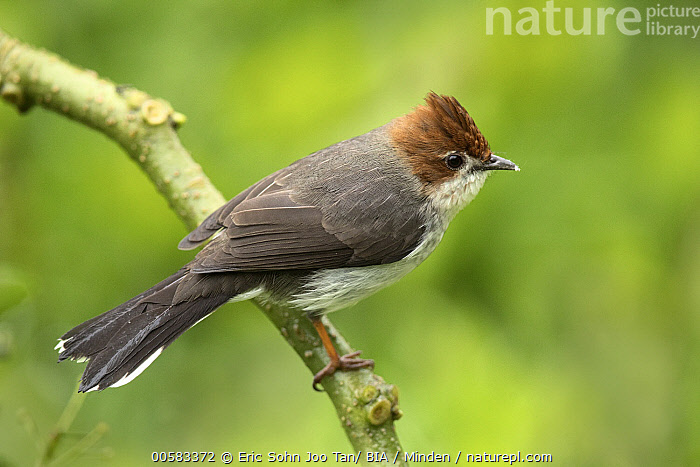 Chestnut-crested Yuhina (Yuhina everetti), Sabah, Borneo, Malaysia, Adult, Borneo, Chestnut-crested Yuhina, Color Image, Day, Full Length, Horizontal, Malaysia, Nobody, One Animal, Outdoors, Photography, Sabah, Side View, Songbird, Wildlife, Yuhina everetti,Chestnut-crested Yuhina,Malaysia, Eric Sohn Joo Tan/ BIA