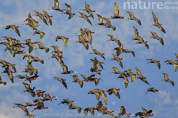 Glossy Ibis (Plegadis falcinellus) flock flying, Lesvos, Greece  ,  Adult, Color Image, Day, Flock, Flying, Full Length, Glossy Ibis, Greece, Horizontal, Large Group of Animals, Lesvos, Nobody, Outdoors, Photography, Plegadis falcinellus, Side View, Wading Bird, Wildlife,Glossy Ibis,Greece  ,  Hans Glader/ BIA