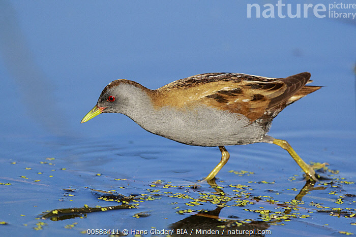 Little Crake (Porzana parva) male foraging, Lesvos, Greece, Adult, Color Image, Day, Foraging, Full Length, Greece, Horizontal, Lesvos, Little Crake, Male, Nobody, One Animal, Outdoors, Photography, Porzana parva, Side View, Wading, Water Bird, Wildlife,Little Crake,Greece, Hans Glader/ BIA