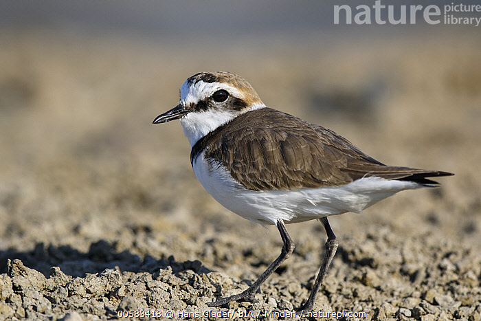 Kentish Plover (Charadrius alexandrinus) male, Lesvos, Greece, Adult, Charadrius alexandrinus, Color Image, Day, Full Length, Greece, Horizontal, Kentish Plover, Lesvos, Male, Nobody, One Animal, Outdoors, Photography, Shorebird, Side View, Wildlife,Kentish Plover,Greece, Hans Glader/ BIA
