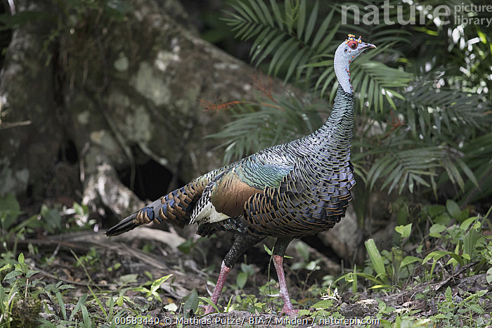 Ocellated Turkey (Meleagris ocellata) male, Peten, Guatemala, Adult, Color Image, Day, Full Length, Gamebird, Guatemala, Horizontal, Male, Meleagris ocellata, Nobody, Ocellated Turkey, One Animal, Outdoors, Peten, Photography, Side View, Wildlife,Ocellated Turkey,Guatemala, Mathias Putze/ BIA