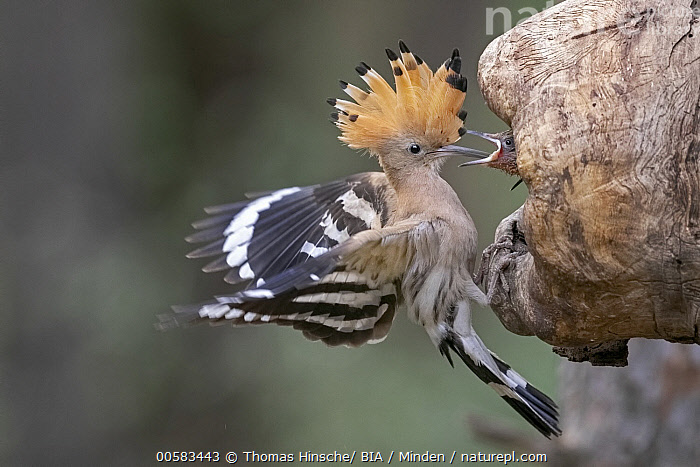 Eurasian Hoopoe (Upupa epops) parent bringing food to begging chick in nest cavity, Saxony-Anhalt, Germany  ,  Adult, Baby, Begging, Bringing Food, Chick, Color Image, Day, Eurasian Hoopoe, Full Length, Germany, Head, Horizontal, Landing, Nest Cavity, Nobody, Open Mouth, Outdoors, Parent, Parenting, Photography, Saxony-Anhalt, Side View, Spreading Wings, Two Animals, Upupa epops, Wildlife,Eurasian Hoopoe,Germany  ,  Thomas Hinsche/ BIA