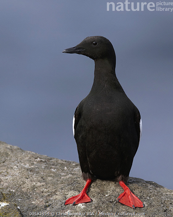 Black Guillemot (Cepphus grylle), Kalsoy, Faroe Islands, Adult, Black Guillemot, Cepphus grylle, Color Image, Day, Faroe Islands, Front View, Full Length, Kalsoy, Nobody, One Animal, Outdoors, Photography, Seabird, Vertical, Wildlife,Black Guillemot,Faroe Islands, Chris Romeiks/ BIA