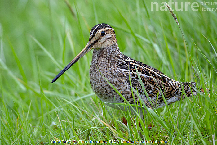 Common Snipe (Gallinago gallinago), Kalsoy, Faroe Islands, Adult, Color Image, Common Snipe, Day, Faroe Islands, Full Length, Gallinago gallinago, Horizontal, Kalsoy, Nobody, One Animal, Outdoors, Photography, Shorebird, Side View, Wildlife,Common Snipe,Faroe Islands, Chris Romeiks/ BIA