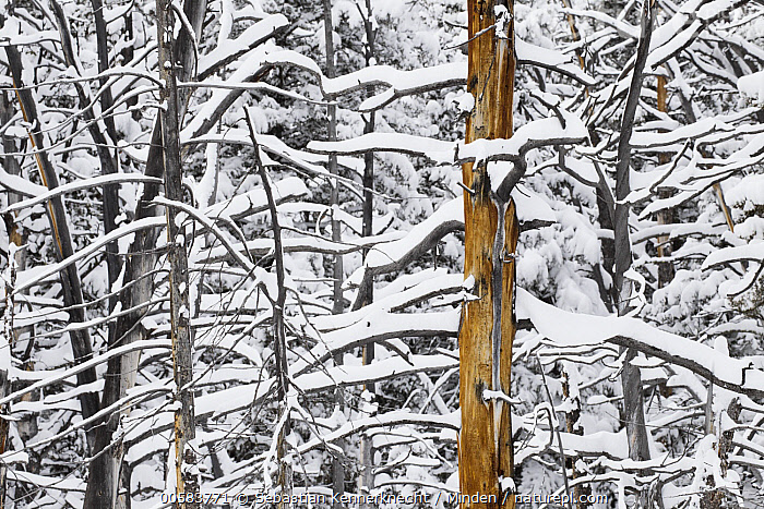 Lodgepole Pine (Pinus contorta) trees in winter, Mammoth Hot Springs, Yellowstone National Park, Wyoming  ,  Color Image, Coniferous Forest, Conifer, Day, Flora, Forest, Horizontal, Landscape, Lodgepole Pine, Mammoth Hot Springs, National Park, Nobody, North America, Outdoors, Photography, Pinaceae, Pine, Pinus sp, Pinus contorta, Plant, Snow, Solitude, Tree, U.S. National Park, United States of America, USA, Winter, Wyoming, Yellowstone National Park,Lodgepole Pine,Wyoming, USA  ,  Sebastian Kennerknecht
