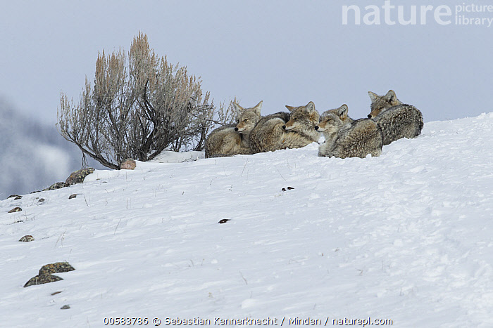 Coyote (Canis latrans) pack in winter, Lamar Valley, Yellowstone National Park, Wyoming, Adult, Animal, Canidae, Canis sp, Canis latrans, Color Image, Coyote, Day, Four Animals, Full Length, Horizontal, Lamar Valley, Mammal, National Park, Nobody, North America, Outdoors, Pack, Photography, Side View, Snow, U.S. National Park, United States of America, USA, Valley, Wildlife, Winter, Wyoming, Yellowstone National Park,Coyote,Wyoming, USA, Sebastian Kennerknecht