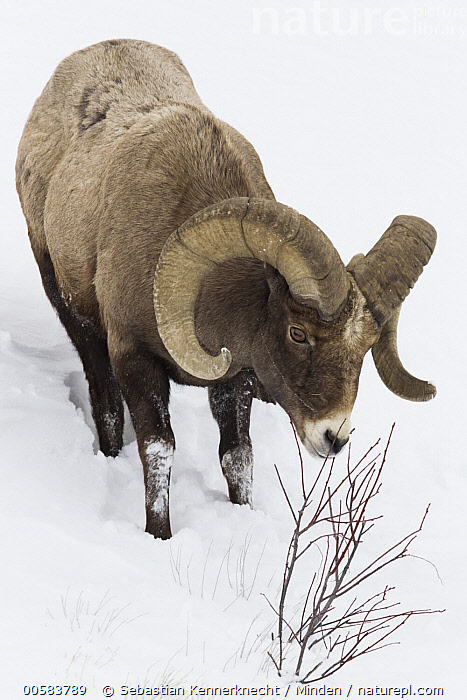 Bighorn Sheep (Ovis canadensis) ram browsing in winter, Lamar Valley, Yellowstone National Park, Wyoming, Adult, Animal, Bighorn Sheep, Bovidae, Browsing, Color Image, Day, Eating, Feeding, Full Length, Lamar Valley, Male, Mammal, National Park, Nobody, North America, One Animal, Outdoors, Ovis canadensis, Ovis canadensis canadensis, Ovis sp, Photography, Ram, Rocky Mountain Bighorn Sheep, Sheep, Side View, Snow, U.S. National Park, United States of America, Ungulate, USA, Valley, Vertical, Wildlife, Winter, Wyoming, Yellowstone National Park,Bighorn Sheep,Wyoming, USA, Sebastian Kennerknecht