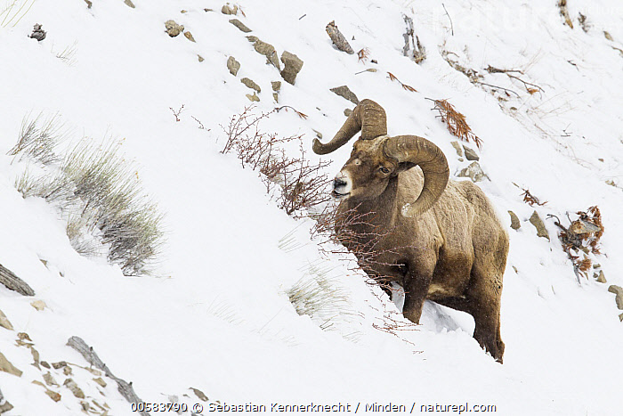 Bighorn Sheep (Ovis canadensis) ram browsing in winter, Lamar Valley, Yellowstone National Park, Wyoming, Adult, Animal, Bighorn Sheep, Bovidae, Browsing, Color Image, Day, Eating, Feeding, Full Length, Horizontal, Lamar Valley, Male, Mammal, National Park, Nobody, North America, One Animal, Outdoors, Ovis canadensis, Ovis canadensis canadensis, Ovis sp, Photography, Ram, Rocky Mountain Bighorn Sheep, Sheep, Side View, Snow, Snowing, U.S. National Park, United States of America, Ungulate, USA, Valley, Wildlife, Winter, Wyoming, Yellowstone National Park,Bighorn Sheep,Wyoming, USA, Sebastian Kennerknecht
