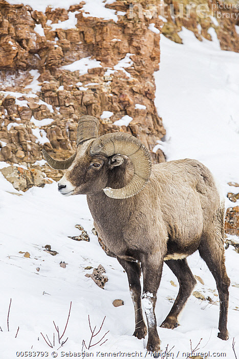 Bighorn Sheep (Ovis canadensis) ram in winter, Lamar Valley, Yellowstone National Park, Wyoming  ,  Adult, Animal, Bighorn Sheep, Bovidae, Color Image, Day, Full Length, Lamar Valley, Male, Mammal, National Park, Nobody, North America, One Animal, Outdoors, Ovis canadensis, Ovis canadensis canadensis, Ovis sp, Photography, Ram, Rocky Mountain Bighorn Sheep, Sheep, Side View, Snow, U.S. National Park, United States of America, Ungulate, USA, Valley, Vertical, Wildlife, Winter, Wyoming, Yellowstone National Park,Bighorn Sheep,Wyoming, USA  ,  Sebastian Kennerknecht