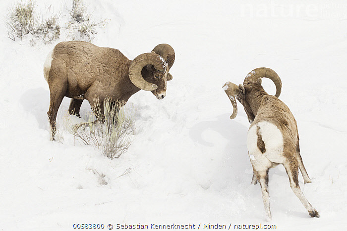 Bighorn Sheep (Ovis canadensis) rams fighting in winter, Lamar Valley, Yellowstone National Park, Wyoming  ,  Adult, Animal, Backside, Bighorn Sheep, Bovidae, Color Image, Competition, Day, Facing, Fighting, Full Length, Horizontal, Lamar Valley, Male, Mammal, National Park, Nobody, North America, Outdoors, Ovis canadensis, Ovis canadensis canadensis, Ovis sp, Photography, Ram, Rear View, Rocky Mountain Bighorn Sheep, Sheep, Side View, Snow, Two Animals, U.S. National Park, United States of America, Ungulate, USA, Valley, Wildlife, Winter, Wyoming, Yellowstone National Park,Bighorn Sheep,Wyoming, USA  ,  Sebastian Kennerknecht