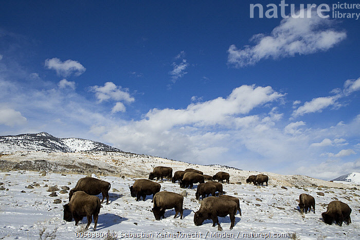 American Bison (Bison bison) herd grazing in winter, Gardiner, Yellowstone National Park, Montana  ,  Adult, American Bison, Animal, Animal in Habitat, Bison sp, Bison bison, Bison, Bovid, Bovidae, Color Image, Day, Eating, Feeding, Full Length, Gardiner, Grassland, Grazing, Herd, Horizontal, Large Group of Animals, Mammal, Montana, National Park, Nobody, North America, Outdoors, Photography, Side View, Snow, U.S. National Park, United States of America, Ungulate, USA, Wildlife, Winter, Yellowstone National Park,American Bison,Montana, USA  ,  Sebastian Kennerknecht
