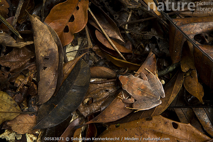 Evergreen Robber Frog (Craugastor gollmeri) camouflaged in leaf litter, Cocobolo Nature Reserve, Mamoni Valley, Panama  ,  Adult, Amphibian, Animal, Camouflage, Central America, Cocobolo Nature Reserve, Color Image, Craugastor sp, Craugastoridae, Craugastor gollmeri, Day, Evergreen Robber Frog, Frog, Full Length, Horizontal, Mamoni Valley, Nobody, One Animal, Outdoors, Panama, Photography, Robber Frog, Top View, Valley, Wildlife,Evergreen Robber Frog,Panama  ,  Sebastian Kennerknecht