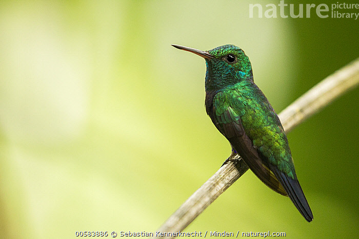 Violet-bellied Hummingbird (Damophila julie) male, Panama Rainforest Discovery Center, Gamboa, Panama, Adult, Animal, Bird, Central America, Color Image, Damophila julie, Day, Full Length, Gamboa, Horizontal, Hummingbird, Male, Nobody, One Animal, Outdoors, Panama, Panama Rainforest Discovery Center, Photography, Side View, Trochilidae, Violet-bellied Hummingbird, Wildlife,Violet-bellied Hummingbird,Panama, Sebastian Kennerknecht