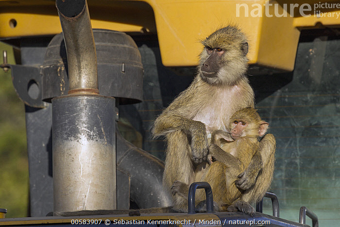 Yellow Baboon (Papio cynocephalus) mother nursing young on tractor, Kafue National Park, Zambia, Adult, Africa, Animal, Baboon, Baby, Cercopithecidae, Color Image, Day, Eating, Feeding, Female, Front View, Full Length, Horizontal, Kafue National Park, Mammal, Monkey, Mother, National Park, Nobody, Nursing, Outdoors, Papio sp, Papio cynocephalus, Parent, Parenting, Photography, Primate, Side View, Southern Africa, Tractor, Two Animals, Vehicle, Wildlife, Yellow Baboon, Young, Zambia, Zambia National Park,Yellow Baboon,Zambia, Sebastian Kennerknecht