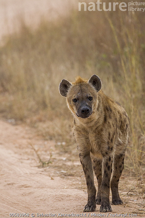 Spotted Hyena (Crocuta crocuta) female, Kruger National Park, South Africa, Adult, Africa, Animal, Color Image, Crocuta sp, Crocuta crocuta, Day, Female, Front View, Full Length, Hyaenidae, Hyena, Kruger National Park, Looking, Looking at Camera, Mammal, National Park, Nobody, One Animal, Outdoors, Photography, South Africa National Park, South Africa, Southern Africa, Spotted Hyena, Vertical, Wildlife,Spotted Hyena,South Africa, Sebastian Kennerknecht
