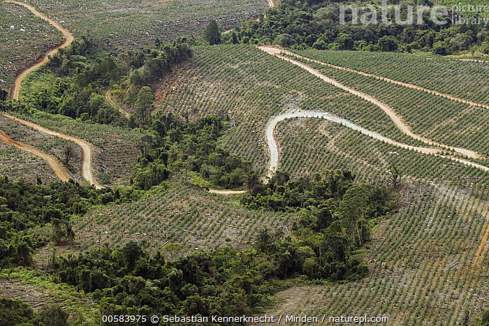 Pine (Pinus sp) tree plantation with remnant forest, Kaapsehoop, South Africa, Aerial View, Aerial, Africa, Agriculture, Color Image, Conifer, Day, Deforestation, Dirt Road, Environmental Issue, Flora, Forest, Habitat Loss, Horizontal, Kaapsehoop, Landscape, Nobody, Outdoors, Photography, Pinaceae, Pine, Pinus sp, Plantation, Plant, Road, South Africa, Southern Africa,Pine,South Africa, Sebastian Kennerknecht