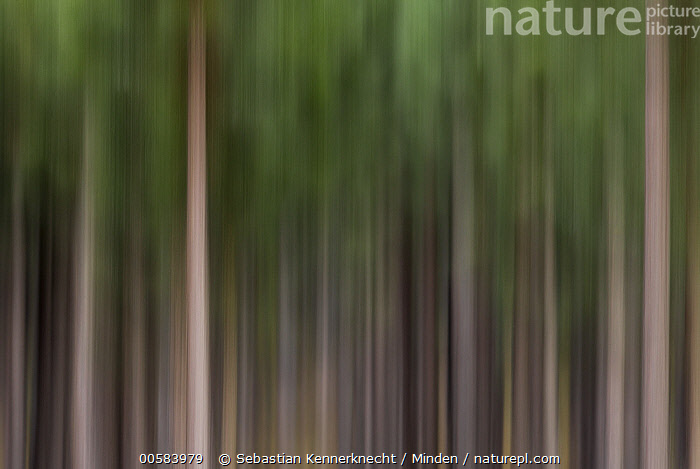 Pine (Pinus sp) tree plantation, Kaapsehoop, South Africa  ,  Abstract, Africa, Agriculture, Blurred Motion, Color Image, Conifer, Day, Flora, Horizontal, Kaapsehoop, Landscape, Nobody, Outdoors, Panning, Photography, Pinaceae, Pine, Pinus sp, Plantation, Plant, South Africa, Southern Africa, Tree, Tree Trunk,Pine,South Africa  ,  Sebastian Kennerknecht