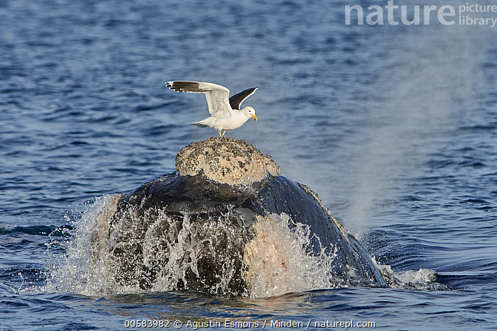 Southern Right Whale (Eubalaena australis) surfacing with Kelp Gull (Larus dominicanus) picking off lice, Chubut, Argentina, sequence 1 of 4  ,  Adult, Argentina, Blowing, Breathing, Chubut, Color Image, Day, Eubalaena australis, Full Length, Head, Horizontal, Kelp Gull, Larus dominicanus, Lice, Marine Mammal, Mutualism, Nobody, Outdoors, Photography, Predator, Prey, Seabird, Sequence, Side View, Southern Right Whale, Surface, Surfacing, Symbiosis, Two Animals, Wildlife,Southern Right Whale,Kelp Gull,Larus dominicanus,Argentina  ,  Agustin Esmoris