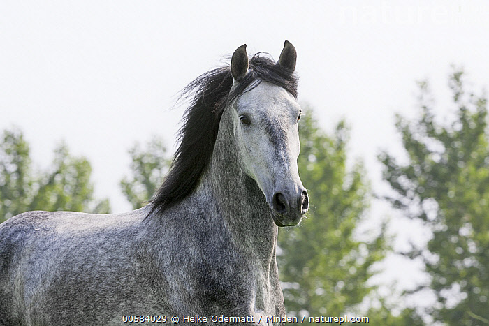 Andalusian Horse (Equus caballus), Netherlands, Adult, Andalusian Horse, Color Image, Day, Equus caballus, Horizontal, Netherlands, Nobody, One Animal, Outdoors, Photography, Side View, Waist Up,Andalusian Horse,Netherlands, Heike Odermatt
