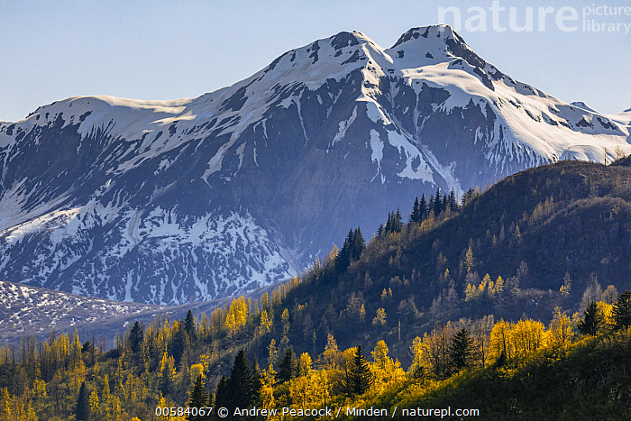 Taiga and snow-covered mountains in autumn, Glacier Bay National Park, Alaska, Alaska, Autumn, Blue Sky, Color Image, Day, Fall Colors, Glacier Bay National Park, Horizontal, Landscape, Mountain, Mountain Range, Nobody, Outdoors, Peak, Photography, Snow-covered, Taiga, Tranquility, Yellow,Alaska, USA, Andrew Peacock