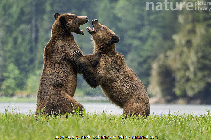 Grizzly Bear (Ursus arctos horribilis) pair fighting, Khutzeymateen Grizzly Bear Sanctuary, British Columbia, Canada  ,  Adult, British Columbia, Canada, Color Image, Competition, Day, Facing, Fighting, Full Length, Grizzly Bear, Horizontal, Interacting, Khutzeymateen Grizzly Bear Sanctuary, Nobody, Outdoors, Photography, Side View, Two Animals, Ursus arctos horribilis, Wildlife,Grizzly Bear,Canada  ,  Kevin Schafer