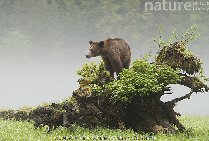 Grizzly Bear (Ursus arctos horribilis) on fallen tree, Khutzeymateen Grizzly Bear Sanctuary, British Columbia, Canada, Adult, Animal in Habitat, British Columbia, Canada, Color Image, Day, Fog, Full Length, Grizzly Bear, Horizontal, Khutzeymateen Grizzly Bear Sanctuary, Nobody, One Animal, Outdoors, Photography, Side View, Ursus arctos horribilis, Wildlife,Grizzly Bear,Canada, Kevin Schafer