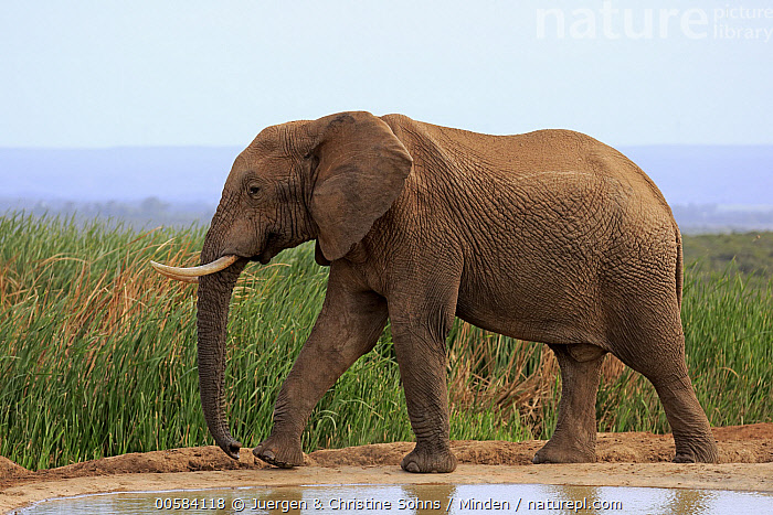 African Elephant (Loxodonta africana) at waterhole, Addo National Park, South Africa, Addo National Park, Adult, African Elephant, Color Image, Day, Full Length, Horizontal, Loxodonta africana, Nobody, One Animal, Outdoors, Photography, Side View, South Africa, Threatened Species, Vulnerable Species, Waterhole, Wildlife,African Elephant,South Africa, Juergen & Christine Sohns