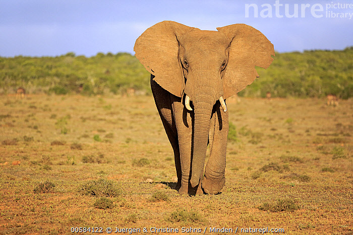 African Elephant (Loxodonta africana), Addo National Park, South Africa  ,  Addo National Park, Adult, African Elephant, Color Image, Day, Front View, Full Length, Horizontal, Looking at Camera, Loxodonta africana, Nobody, One Animal, Outdoors, Photography, South Africa, Threatened Species, Vulnerable Species, Wildlife,African Elephant,South Africa  ,  Juergen & Christine Sohns