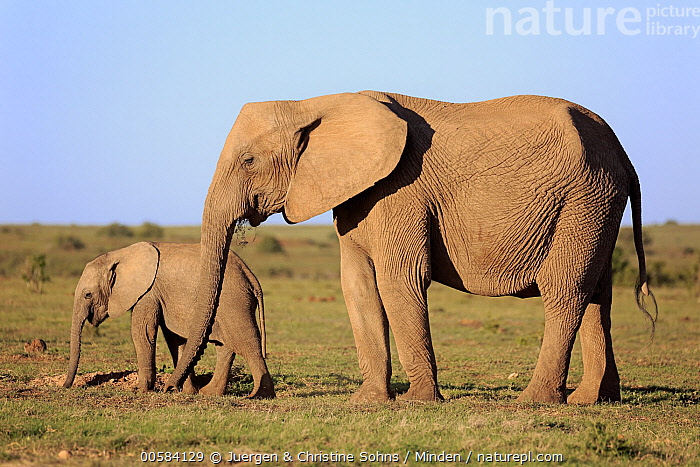 African Elephant (Loxodonta africana) mother and calf, Addo National Park, South Africa, Addo National Park, Adult, African Elephant, Baby, Calf, Color Image, Day, Female, Full Length, Horizontal, Loxodonta africana, Mother, Nobody, Outdoors, Parent, Photography, Side View, South Africa, Threatened Species, Two Animals, Vulnerable Species, Wildlife,African Elephant,South Africa, Juergen & Christine Sohns