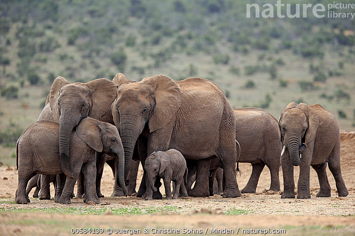 African Elephant (Loxodonta africana) herd, Addo National Park, South Africa  ,  Addo National Park, Adult, African Elephant, Baby, Calf, Color Image, Day, Female, Full Length, Herd, Horizontal, Loxodonta africana, Medium Group of Animals, Mother, Nobody, Outdoors, Parent, Photography, Side View, South Africa, Threatened Species, Vulnerable Species, Wildlife,African Elephant,South Africa  ,  Juergen & Christine Sohns