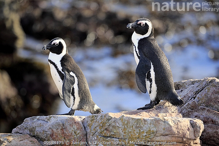 Black-footed Penguin (Spheniscus demersus) pair, Betty's Bay, Stony Point Nature Reserve, South Africa  ,  Adult, Betty's Bay, Black-footed Penguin, Color Image, Day, Full Length, Horizontal, Nobody, Outdoors, Photography, Seabird, Side View, South Africa, Spheniscus demersus, Stony Point Nature Reserve, Threatened Species, Two Animals, Vulnerable Species, Wildlife,Black-footed Penguin,South Africa  ,  Juergen & Christine Sohns